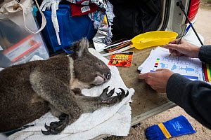 A skinny and dehydrated Koala (Phascolarctos cinereus) who has been sedated and captured is given immediate veterinary care in the field and sent to triage for recuperation and rehabilitation. The koa... - Jo-Anne McArthur / We Animals
