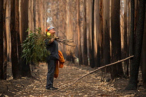 Veterinarian Chris Barton of 'Vets for Compassion'carrying eucalyptus browse into a eucalyptus tree plantation destroyed by bushfire. Surviving koalas perch high in trees. The fresh eucalyptus...  -  Jo-Anne McArthur / We Animals