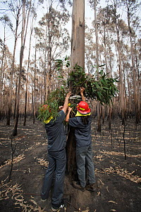 Veterinarian Chris Barton and Elaine Ong of 'Vets for Compassion'carrying eucalyptus browse into a eucalyptus tree plantation destroyed by bushfire. Surviving koalas perch high in trees. The f...  -  Jo-Anne McArthur / We Animals