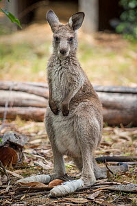 Eastern grey kangaroo (Macropus giganteus) rescued from the fires recuperates with bandages on his burned paws at Sue Johns' home in Mallacoota, Australia, January 2020 - Jo-Anne McArthur / We Animals