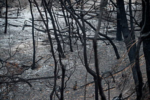 Swamp wallaby (Wallabia bicolor) in a burned forest outside Mallacoota, Australia, January 2020 - Jo-Anne McArthur / We Animals