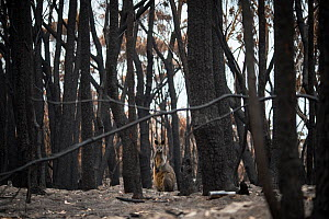 Swamp wallaby (Wallabia bicolor) foraging for food in a burned forest outside Mallacoota, Australia, January 2020 - Jo-Anne McArthur / We Animals