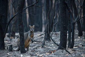 Swamp wallaby (Wallabia bicolor) in a burnt forest in Mallacoota forages for fungi growing from the forest floor. Australia, January 2020 - Jo-Anne McArthur / We Animals