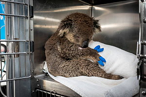 Koala (Phascolarctos cinereus) female anaesthetised to treat burns starting to recover. Mobile wildlife triage centre at Bairnsdale (which was set up to treat animals as a result of the bushfires that...  -  Doug Gimesy