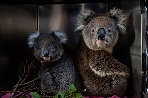 Koala (Phascolarctos cinereus) ) female and joey in their enclosure at a mobile wildlife triage centre at Bairnsdale, which was set up to treat wildlife as a result of the bushfires that have been rav...  -  Doug Gimesy