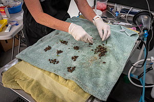 Carolyn Donovan (certified emergency critical care veterinary nurse from the Peninsula Vet Emergency & Referral Hospital) counts the faecal pellets from a koala (Phascolarctos cinereus) in care and be... - Doug Gimesy