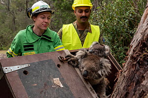Koala (Phascolarctos cinereus) mother and  joey are released by Emily Cordy (left/green clothes) - a Forest and Wildlife officer (and assisted by members from the Australian Defence Force) at Log Cros...  -  Doug Gimesy