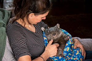 Wombat (Vombatus ursinus) is cared for by Rena Gaborov - wildlife rescuer and carer - in Renas mothers lounge. Rena and her partner Joseph had to evacuate their wildlife (wombats, possums and kangaroo...  -  Doug Gimesy