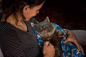 Wombat (Vombatus ursinus) male is cared for by Rena Gaborov - wildlife rescuer and carer - in Renas mothers lounge.Rena and her partner Joseph had to evacuate their wildlife (wombats, possums and kang...  -  Doug Gimesy