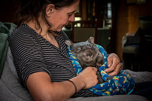 A male bare-nosed wombat (Vombatus ursinus) cared for by Rena Gaborov - wildlife rescuer and carer - in Renas mothers lounge. Rena and her partner Joseph had to evacuate their wildlife (wombats, possu...  -  Doug Gimesy