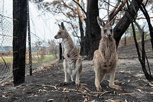 Orphaned eastern grey kangaroos (Macropus giganteus) in the burnt-out yard at her mother's property at Sarsfield. Rena Gaborov and her partner Joseph had to evacuate their wildlife (wombats, possums a... - Doug Gimesy