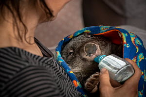 Wombat (Vombatus ursinus) male is bottle fed by Rena Gaborov - wildlife rescuer and carer. Rena and her partner Joseph had to evacuate their wildlife (wombats, possums and kangaroos) from their home a... - Doug Gimesy