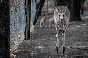 Orphaned Eastern grey kangaroos (Macropus giganteus) in the burnt-out yard at wildlife rescuer and carer Rena Gaborov mother's property at Sarsfield. Rena and her partner Joseph had to evacuate their... - Doug Gimesy