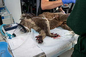 Burnt feet of anaesthetised  female Koala (Phascolarctos cinereus) as she is treated, at a mobile wildlife triage centre at Bairnsdale (which was set up to treat animals as a result of the bushfires t... - Doug Gimesy