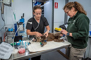 Kimberly Vinette Herrin (Veterinary Officer Taronga Zoo) and Carolyn Donovan (certified emergency critical care veterinary nurse from the Peninsula Vet Emergency & Referral Hospital) treat an anaesthe... - Doug Gimesy