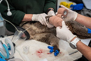 Anaesthetised female Koala (Phascolarctos cinereus) is treated for burns to all her feet at a mobile wildlife triage centre at Bairnsdale (which was set up to treat animals as a result of the bushfire... - Doug Gimesy