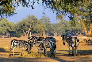 Zebra (Equus quagga burchelli) feeding on hay provided by camp operators to prevent starvation during a severe drought. Mana Pools National Park, Zimbabwe. September 2019.  -  Tony Heald