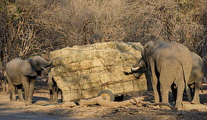 African elephants (Loxodonta africana) feeding on hay from a broken trailer laden with hay for distribution to starving animals during drought. Mana Pools National Park, Zimbabwe, September 2019.  -  Tony Heald