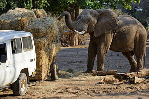 African elephant (Loxodonta africana) feeding on hay from a broken trailer laden with hay for distribution to starving animals during drought. Mana Pools National Park, Zimbabwe, September 2019.  -  Tony Heald
