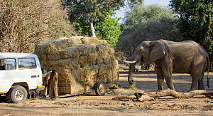 African elephant (Loxodonta africana) helping itself to hay whilst a man repairs a trailer laden with hay for distribution to starving animals during drought. Mana Pools National Park, Zimbabwe, Septe...  -  Tony Heald