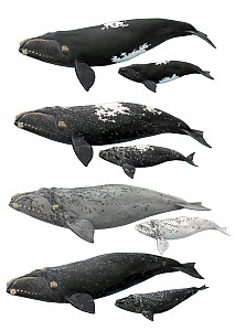 Southern right whale (Eubalaena australis) - adults and calves Dorsal skin patterns / morphs - from top to bottom - black or wild type - white-blaze - grey-morph - partial-grey-morph - partial-grey-mo...  -  Toni Llobet / Carwardine