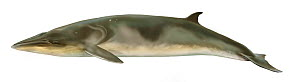 Antarctic minke whale (Balaenoptera bonaerensis) adult covered in diatoms     No more than 15 illustrations by Martin Camm, Rebecca Robinson and/or Toni Llobet to be used in a single project or boo...  -  Toni Llobet / Carwardine