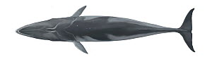 Antarctic minke whale (Balaenoptera bonaerensis) adult upperside     No more than 15 illustrations by Martin Camm, Rebecca Robinson and/or Toni Llobet to be used in a single project or book edition...  -  Toni Llobet / Carwardine