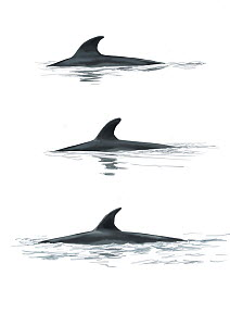 Antarctic minke whale (Balaenoptera bonaerensis) adult dorsal fin variations     No more than 15 illustrations by Martin Camm, Rebecca Robinson and/or Toni Llobet to be used in a single project or...  -  Toni Llobet / Carwardine