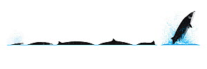 Stejneger's beaked whale (Mesoplodon stejnegeri) Dive sequence and breaching     No more than 15 illustrations by Martin Camm, Rebecca Robinson and/or Toni Llobet to be used in a single project or...  -  Rebecca Robinson / Carwardine
