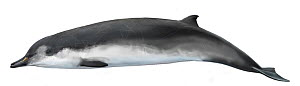 Spade-toothed whale (Mesoplodon traversii)     No more than 15 illustrations by Martin Camm, Rebecca Robinson and/or Toni Llobet to be used in a single project or book edition, except by prior writ...  -  Toni Llobet / Carwardine
