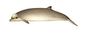 Southern bottlenose whale (Hyperoodon planifrons) calf     No more than 15 illustrations by Martin Camm, Rebecca Robinson and/or Toni Llobet to be used in a single project or book edition, except b...  -  Martin Camm / Carwardine