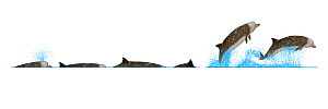 Southern bottlenose whale (Hyperoodon planifrons) Dive sequence and breaching     No more than 15 illustrations by Martin Camm, Rebecca Robinson and/or Toni Llobet to be used in a single project or...  -  Rebecca Robinson / Carwardine