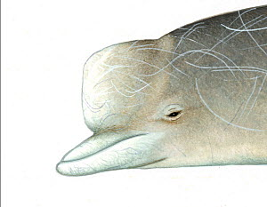 Northern bottlenose whale (Hyperoodon ampullatus) Old adult male head     No more than 15 illustrations by Martin Camm, Rebecca Robinson and/or Toni Llobet to be used in a single project or book ed...  -  Martin Camm / Carwardine