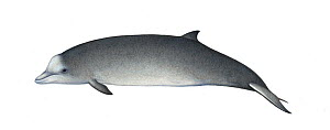 Northern bottlenose whale (Hyperoodon ampullatus) calf     No more than 15 illustrations by Martin Camm, Rebecca Robinson and/or Toni Llobet to be used in a single project or book edition, except b...  -  Martin Camm / Carwardine