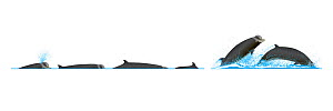 Northern bottlenose whale (Hyperoodon ampullatus) Dive sequence and breaching     No more than 15 illustrations by Martin Camm, Rebecca Robinson and/or Toni Llobet to be used in a single project or...  -  Rebecca Robinson / Carwardine