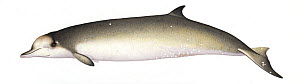 Longman's beaked whale (Indopacetus pacificus) adult female     No more than 15 illustrations by Martin Camm, Rebecca Robinson and/or Toni Llobet to be used in a single project or book edition, exc...  -  Martin Camm / Carwardine