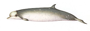Longman's beaked whale (Indopacetus pacificus) adult male     No more than 15 illustrations by Martin Camm, Rebecca Robinson and/or Toni Llobet to be used in a single project or book edition, excep...  -  Martin Camm / Carwardine