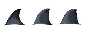 Dwarf Baird's beaked whale (Berardius sp - possibly minimus) Dorsal fin variations (artist's impression based on little information)     No more than 15 illustrations by Martin Camm, Rebecca Robins...  -  Martin Camm / Carwardine