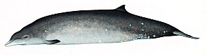 Deraniyagala's beaked whale (Mesoplodon hotaula) adult female     No more than 15 illustrations by Martin Camm, Rebecca Robinson and/or Toni Llobet to be used in a single project or book edition, e...  -  Martin Camm / Carwardine
