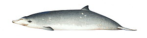 Blainville's beaked whale (Mesoplodon densirostris) adult female     No more than 15 illustrations by Martin Camm, Rebecca Robinson and/or Toni Llobet to be used in a single project or book edition...  -  Martin Camm / Carwardine
