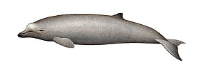 Baird's beaked whale (Berardius bairdii) calf     No more than 15 illustrations by Martin Camm, Rebecca Robinson and/or Toni Llobet to be used in a single project or book edition, except by prior w...  -  Martin Camm / Carwardine