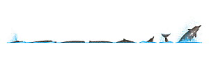 Baird's beaked whale (Berardius bairdii) Dive sequence and breaching     No more than 15 illustrations by Martin Camm, Rebecca Robinson and/or Toni Llobet to be used in a single project or book ed...  -  Rebecca Robinson / Carwardine
