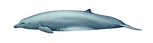Arnoux's beaked whale (Berardius arnuxii) calf     No more than 15 illustrations by Martin Camm, Rebecca Robinson and/or Toni Llobet to be used in a single project or book edition, except by prior...  -  Martin Camm / Carwardine