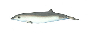 Andrews' beaked whale (Mesoplodon bowdoini) calf     No more than 15 illustrations by Martin Camm, Rebecca Robinson and/or Toni Llobet to be used in a single project or book edition, except by prio...  -  Martin Camm / Carwardine