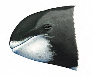 Pygmy killer whale (Feresa attenuata) adult head variation     No more than 15 illustrations by Martin Camm, Rebecca Robinson and/or Toni Llobet to be used in a single project or book edition, exce...  -  Martin Camm / Carwardine