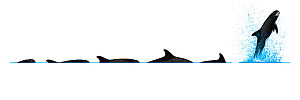 Pygmy killer whale (Feresa attenuata) Dive sequence and breaching     No more than 15 illustrations by Martin Camm, Rebecca Robinson and/or Toni Llobet to be used in a single project or book editio...  -  Rebecca Robinson / Carwardine