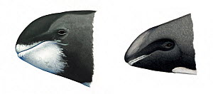 Melon-headed whale (Peponocephala electra) Pygmy killer whale (Feresa attenuata) adult head comparison (pygmy killer whale left, melon-headed whale right)     No more than 15 illustrations by Marti...  -  Martin Camm / Carwardine