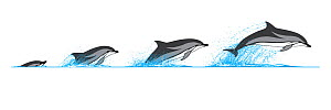 Striped dolphin (Stenella coeruleoalba) Dive sequence     No more than 15 illustrations by Martin Camm, Rebecca Robinson and/or Toni Llobet to be used in a single project or book edition, except by...  -  Rebecca Robinson / Carwardine