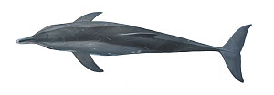 Rough-toothed dolphin (Steno bredanensis) adult upperside     No more than 15 illustrations by Martin Camm, Rebecca Robinson and/or Toni Llobet to be used in a single project or book edition, excep...  -  Toni Llobet / Carwardine
