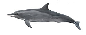 Rough-toothed dolphin (Steno bredanensis) adult variation     No more than 15 illustrations by Martin Camm, Rebecca Robinson and/or Toni Llobet to be used in a single project or book edition, excep...  -  Toni Llobet / Carwardine